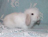 Voříšek - teddy beránek - volný k rezervaci - krásná hedvábná srst,bílá, tmavé uši (částečná siam)