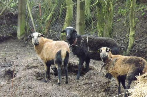 Kamerunské Ovečky Z Rozkvetlého Statku